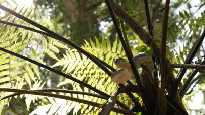 Snake in tree fern (19 of 21) - Diamond Python non-venomous snake reptile found in eastern Australia - (Morelia spilota spilota) is a subspecies of Carpet Python (Morelia spilota)