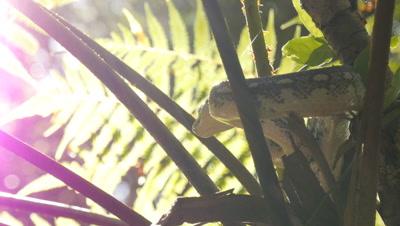 Snake in tree fern (21 of 21) - Diamond Python non-venomous snake reptile found in eastern Australia - (Morelia spilota spilota) is a subspecies of Carpet Python (Morelia spilota)