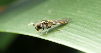 Small Slender Hover Fly - Melanostoma apicale? (2 of 6) Hoverflies sometimes called flower flies or syrphid flies make up the insect family Syrphidae. Hover flies are wasp mimics and employ yellow stripes as a form of color deception.