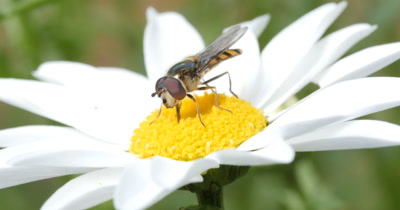 Hover Fly (Melanostoma ?) on daisy flower (Bellis perennis). Hoverflies sometimes called flower flies or syrphid flies make up the insect family Syrphidae.  Hover flies are wasp mimics and employ yellow stripes as a form of color deception.
