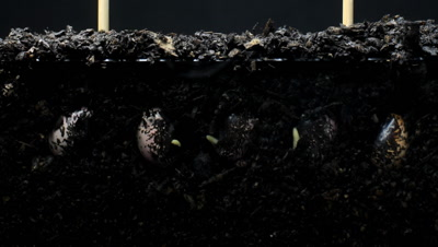 Runner bean (Phaseolus coccineus) plant seed growing underground hypogeal germination time lapse. The roots spread into the soil to get water and nutrients,  the epicotyl starts to grow upwards. Shot over 168 hours.