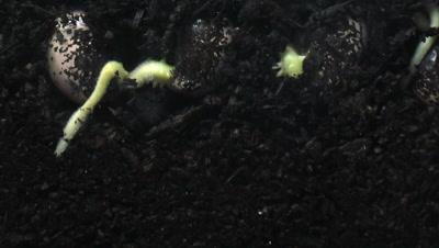 Runner bean (Phaseolus coccineus) plant seed growing underground hypogeal germination time lapse. The roots spread into the soil to get water and nutrients. Timelapse shot over 168 hours