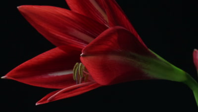 Plant flower opening timelapse of an Amaryllis (Hippeastrum sp.) blooming. Amaryllis is the only genus in the subtribe Amaryllidinae. Dolly tracking shot on black background.