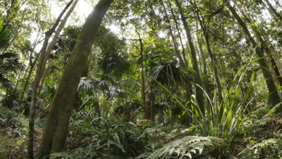 Temperate Rainforest of Australia.  The Eastern Australian temperate forests are an ecoregion of open forest on uplands along the east coast of New South Wales, Australia.  Featuring old gondwana rainforest, with ferns, trees and and various forest plants. Shot with a remote slider dolly and wide angle lens along the Illawarra escarpment of NSW.