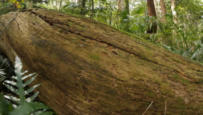 Green moss covered log on forest floor in the temperate Rainforest of Australia.  The Eastern Australian temperate forests jungle along the east coast of New South Wales, Australia is an old Gondwana rainforest,  with ferns, trees and and various forest plants. Shot with a remote slider dolly and wide angle lens along the Illawarra escarpment of NSW.