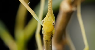 Stick insect (1 of 6). Phasmatodea (also known as Phasmida or Phasmatoptera) are an order of insects, whose members are variously  known as stick insects or walking sticks.