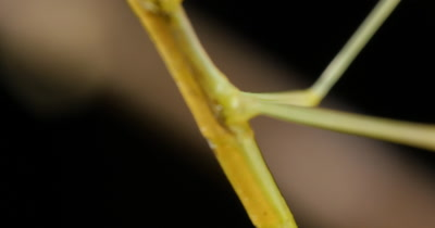 Stick insect (2 of 6). Phasmatodea (also known as Phasmida or Phasmatoptera) are an order of insects, whose members are variously  known as stick insects or walking sticks.
