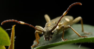 Golden Longicorn Beetle (2 of 3) - Cerambycidae-  The longhorn beetles are a cosmopolitan family of beetles, typically characterized by extremely long antennae.