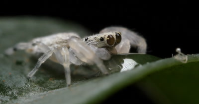 Cute Small White Jumping Spider (1 of 7) - (Salticidae) Drinking from drop of water macro close up.