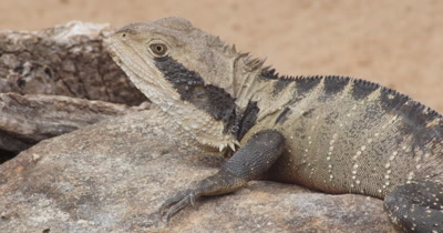 Australian Eastern Water Dragon lizard (Physignathus lesueurii) sun baking on rock.  Eastern water dragons have large heads, with a row of spines beginning on the head and leading down along their back