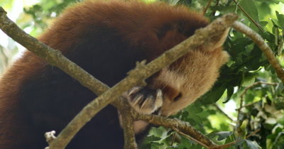 Red panda (Ailurus fulgens) also called the lesser panda, the red bear-cat, and the red cat-bear, is a mammal native to the eastern Himalayas and southwestern China.