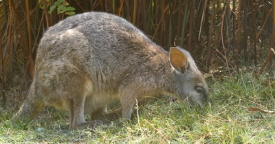 Red-necked wallaby (2 of 5). Also known as Bennett's wallaby is a medium-sized macropod marsupial, common in the more temperate and  fertile parts of eastern Australia, including Tasmania. (Macropus rufogriseus)