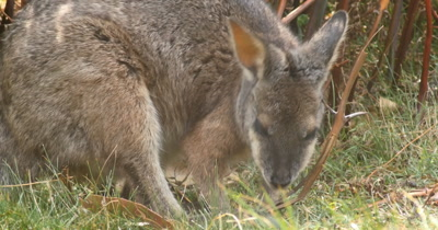 Red-necked wallaby (4 of 5). Also known as Bennett's wallaby is a medium-sized macropod marsupial, common in the more temperate and  fertile parts of eastern Australia, including Tasmania. (Macropus rufogriseus)