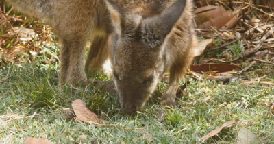 Red-necked wallaby (5 of 5). Also known as Bennett's wallaby is a medium-sized macropod marsupial, common in the more temperate and  fertile parts of eastern Australia, including Tasmania. (Macropus rufogriseus)