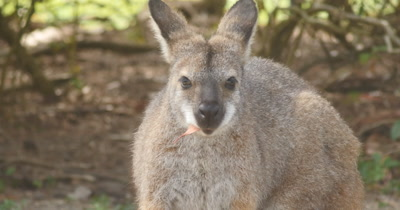 Red-necked wallaby also known as Bennett's wallaby is a medium-sized macropod marsupial, common in the more temperate and  fertile parts of eastern Australia, including Tasmania. (Macropus rufogriseus)
