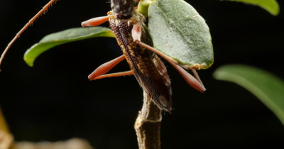 Eucalypt Longicorn Beetle - Coptocercus?. The longhorn beetles are a cosmopolitan family of beetles, typically characterized by extremely long antennae.