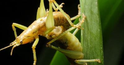 Cricket Insect Mating Order Orthoptera This footage shows crickets mating by transferring a spermatophore from male to female. Crickets do their mating in the late summer. They lay their eggs in the fall.