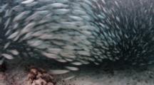 Tarpon Swim Through Bait Ball Over Sand Bottom