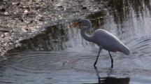 White Egret Feeding In Coastal Waters