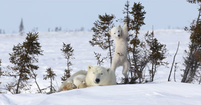 Polar bear mother with two cubs,playing with trees