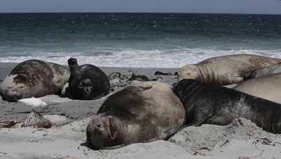 Group of Southern Elephant Seals sleeping on the beach