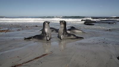 Young Southern Elephant Seals fighting for fun