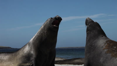 Bulls of Southern Elephant seal fighting