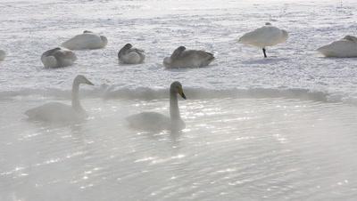 Two whooper swans swimming in the fog,Hokkaido,Japan