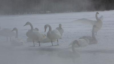 Group of whooper swans in the fog,Hokkaido,Japan