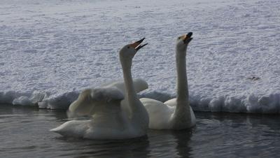 Two whooper swans singing,Hokkaido,Japan