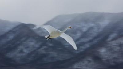 Whooper swan flying,Hokkaido,Japan