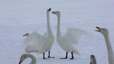 Whooper swans singing,Hokkaido,Japan