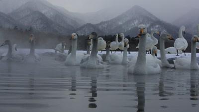 Close-up of whooper swans,Hokkaido,Japan