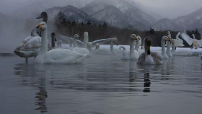 Close-up of whooper swans arriving in-flight,Hokkaido,Japan