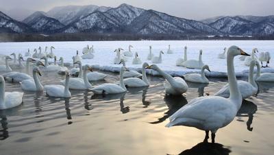 Group of Whooper swans in shallow water,Hokkaido,Japan