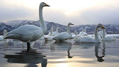 Whooper swans having a rest,Hokkaido,Japan