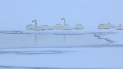 Whooper swans waking up in the morning,Hokkaido,Japan