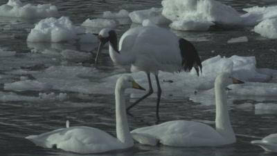 Whooper swans crossing in front of the crane,Hokkaido,Japan