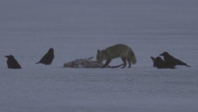 Red fox eating a whooper swan,Hokkaido,Japan