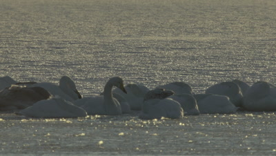 Whooper swan waking up on the ice,Hokkaido,Japan