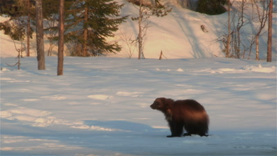 Wolverine looking for food,Finland