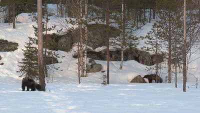 Male and female wolverine win the snow,Finland
