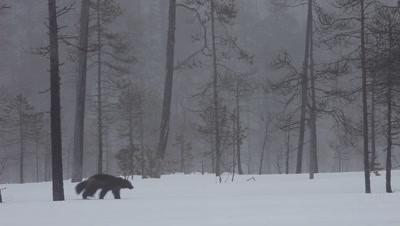 Wolverine and ravens in the fog,early morning in Finland