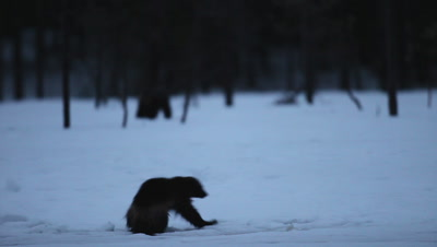 Wolverine looking at another one,early morning in Finland