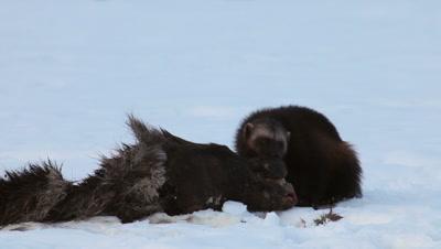 Wolverine eating dead moose,Finland