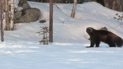 Wolverine in the snow looking for food,Finland