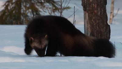 Wolverine walking in the snow,Finland