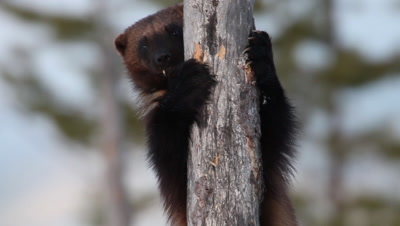 Wolverine in a tree looking for food,Finland
