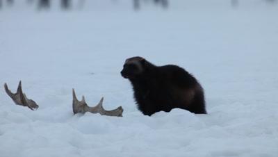 Wolverine crossing moose antlers,Finland
