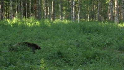 Wolverine eating,summer in Finland